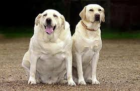 obese dog, overweight dog, ideal weight dog