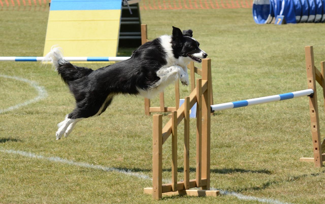 dog agility, dog rehab, dog rehabilitation, dog treatment, agility dog injuries