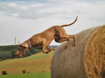 dog jumping, dog triceps injury, dog treatment, dog rehab, dog osteopathy, dog rehabilitation