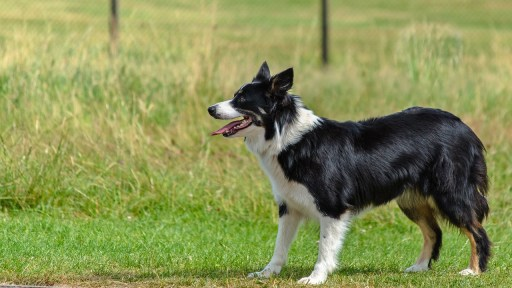 border collie, agility dog, dog rehab, dog rehabilitation, dog osteopath