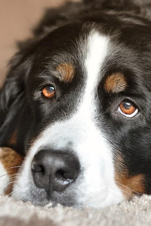 dog rehab, dog acl, big dog, large dog