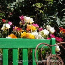 Painted garden bench and colorful freesias, invoking a quite place to sit in your garden.