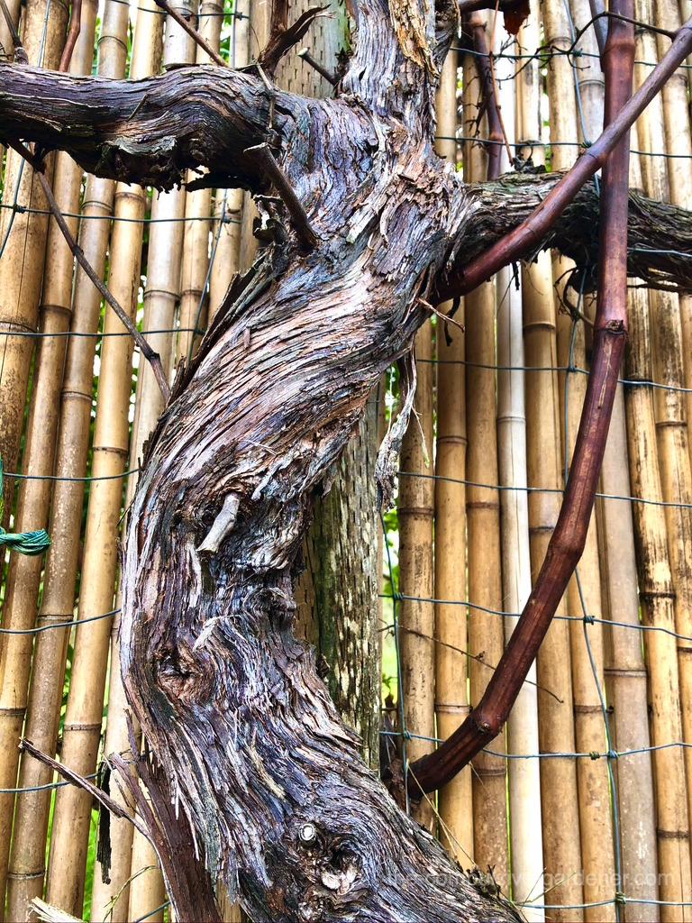 Table grape bark in winter