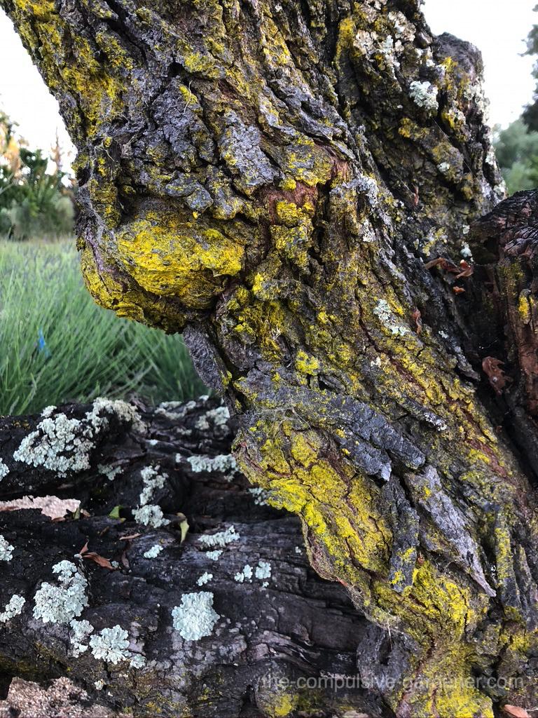 Old Plum Tree bark