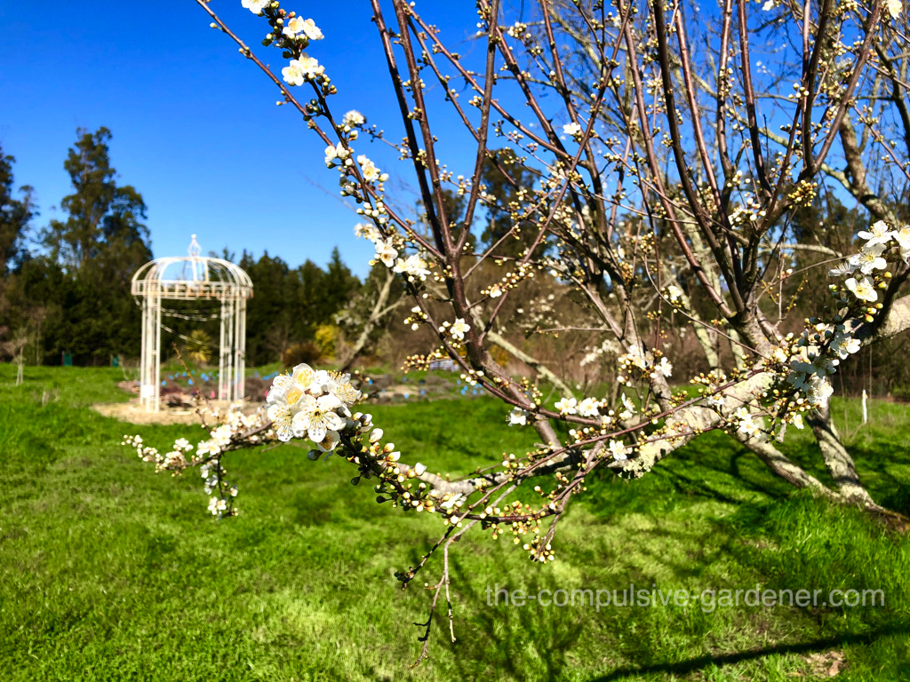 One of the treasured old plums on the hill is in blossom