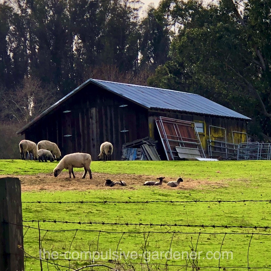 Baby lambs on a Sonoma County ranch