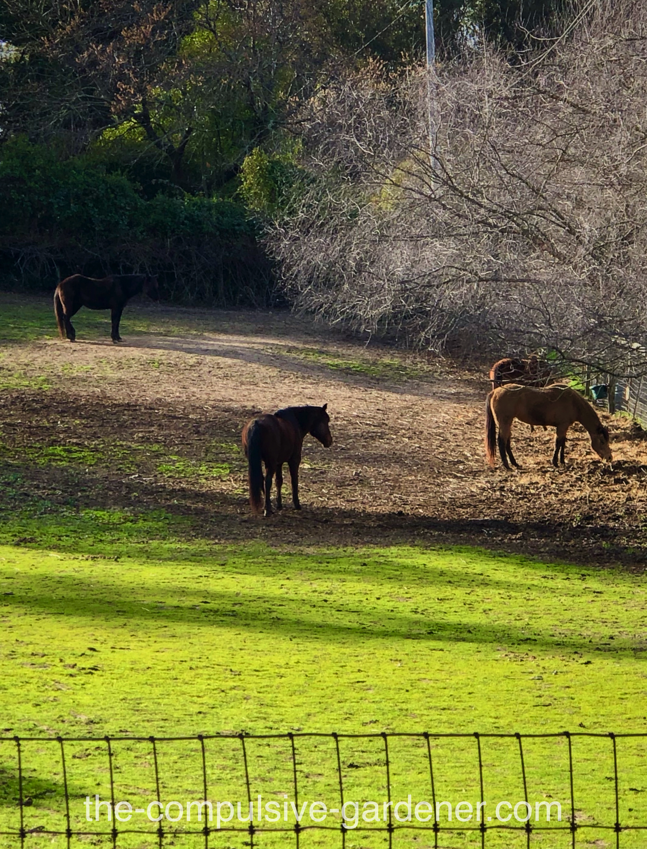 Recent rain means fresh grass for the horses of SoCo.