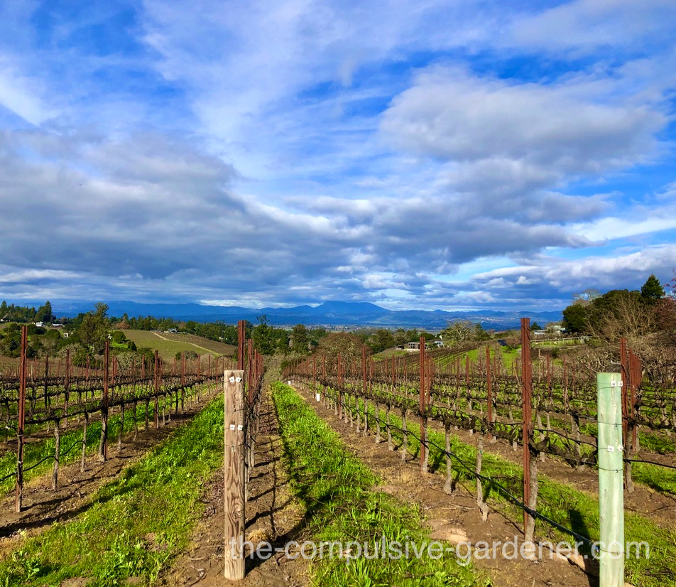 A vineyard with views of distant mountains, in Sonoma County, California