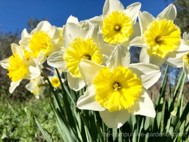 Daffodils are a bright cheery greeting after the dark days of winter.