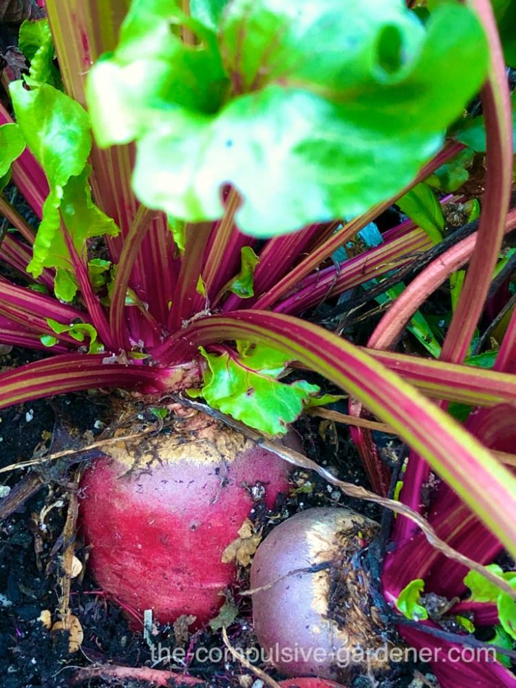 Overwintering beets in the garden