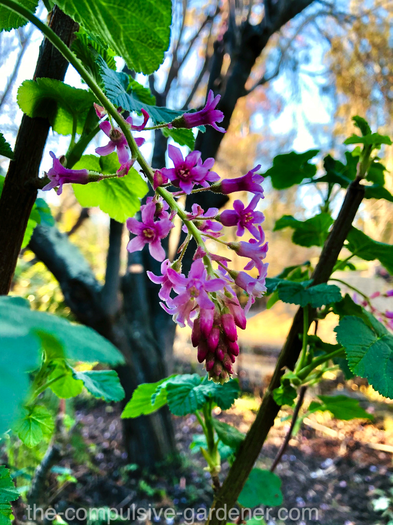 Pink flowering currant blossom