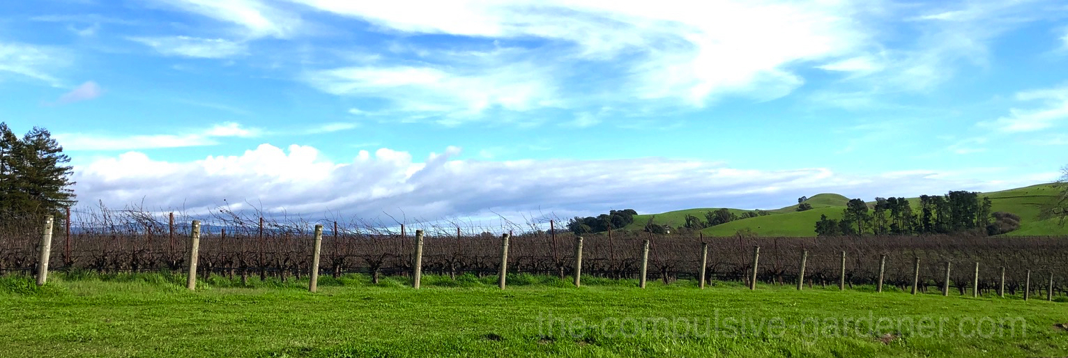 A vineyard in Sonoma County