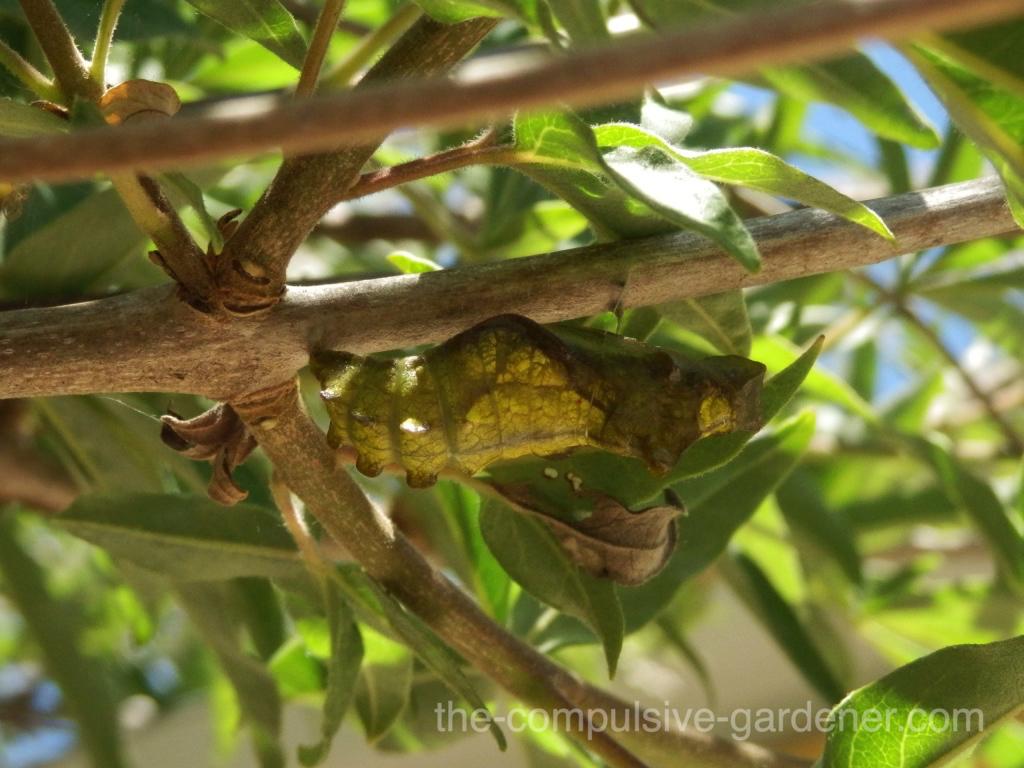 Pipevine Swallowtail chrysalis