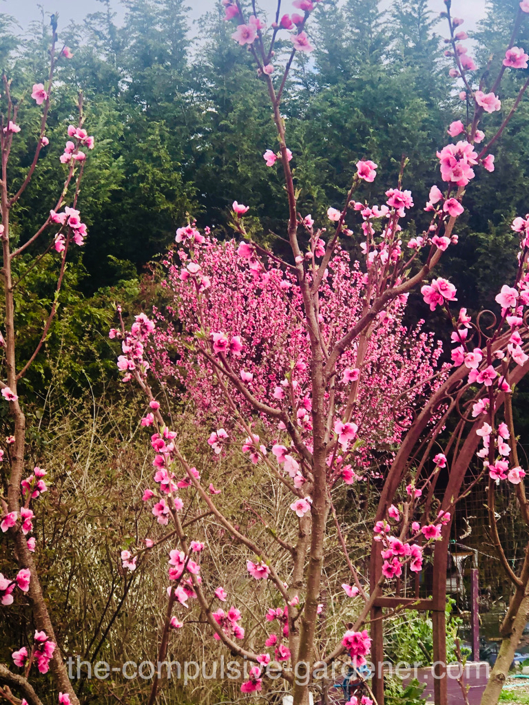 Nectarines in bloom