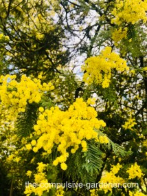 Acacia trees in bloom -- take your allergy medicine and enjoy!
