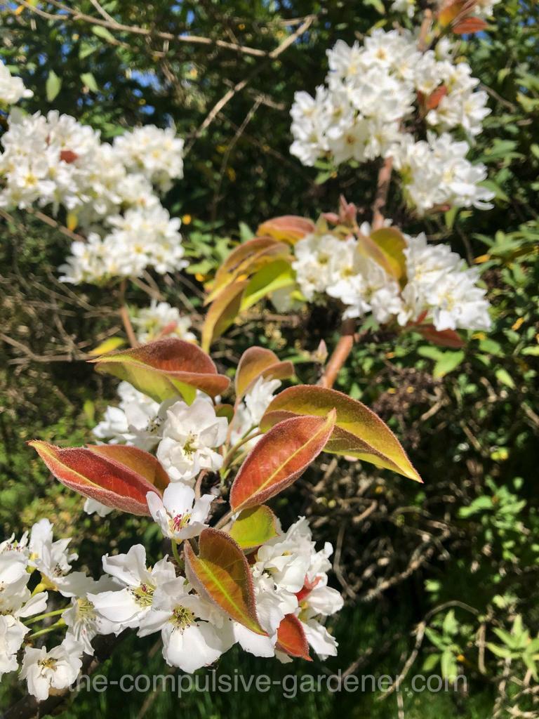 An Asian Pear in bloom