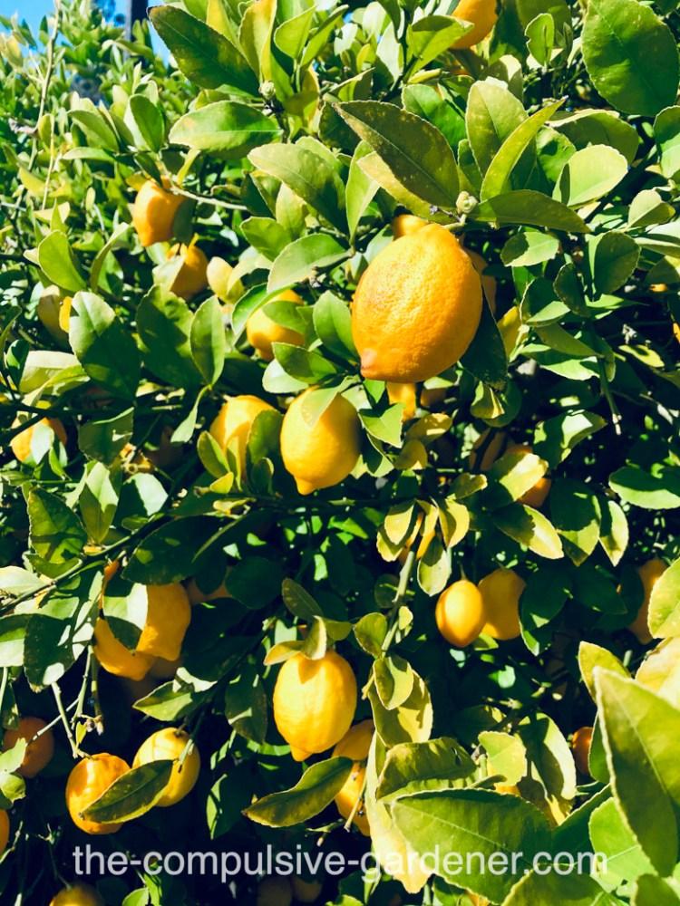Lemons -- bumper crop