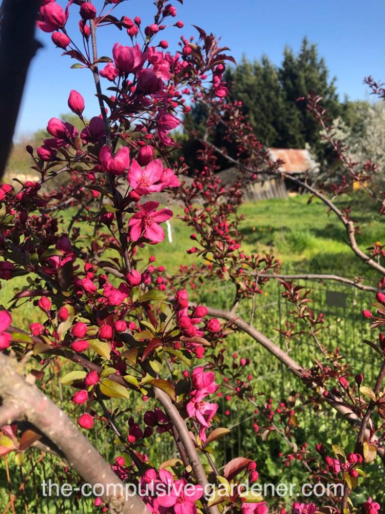 Red Flowering Crabapple Tree