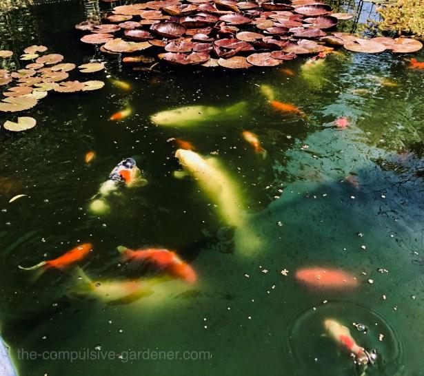 Feeding time for koi and goldfish