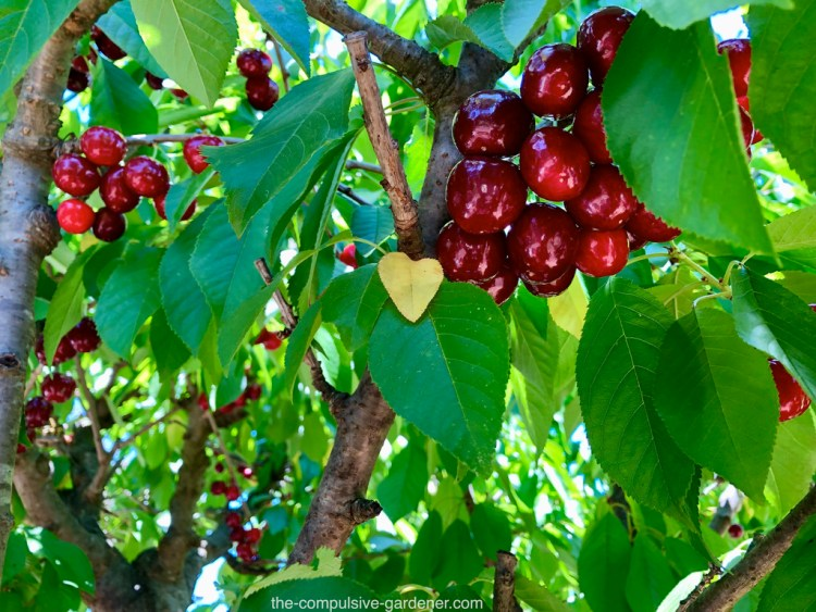 Lapins cherries on the tree. I didn't notice the heart-shaped yellow leaf until I cropped the photo. :)