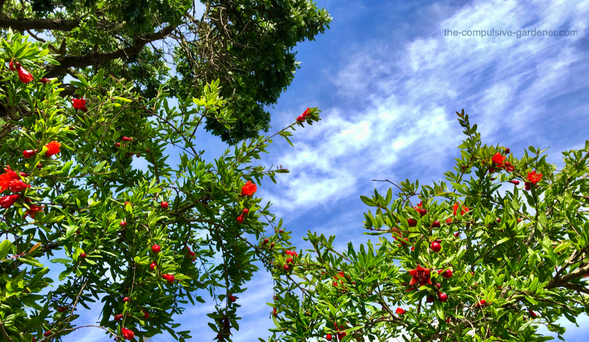 """We've been trying to grow a few pomegranate trees for many years. This is our tallest one and it just got liberated from some overzealous pink jasmine that was trying to eat the tree and the house. ;) The tree seems happy to be unencumbered now, if profuse blooms are an indication. The variety is """"Wonderful""""."""