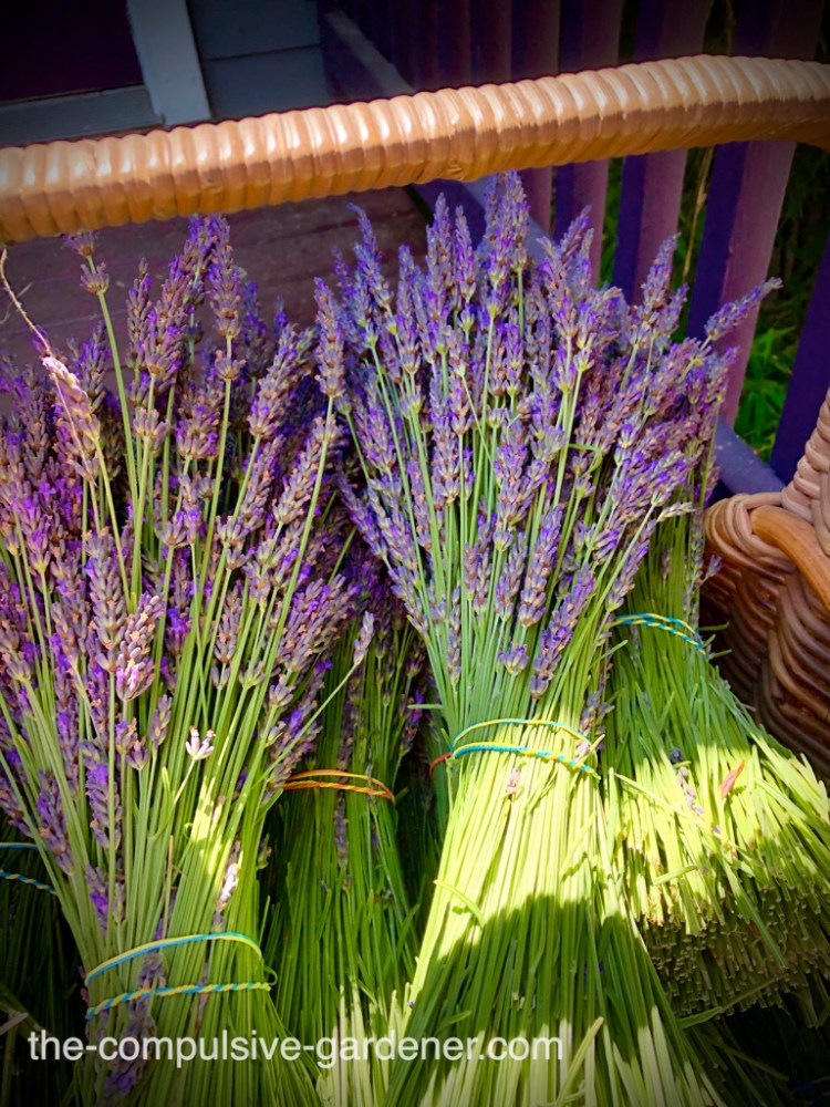 Lavender made into bunches for drying