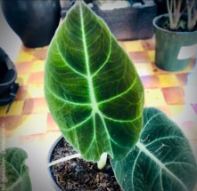 This one also wasn't labeled, but I think it is Alocasia 'Black Velvet'.