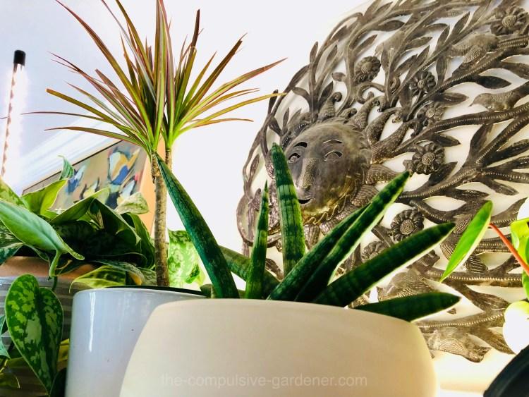 From left to right: Satin Pothos (Scindapsus pictus), Dragon Tree (Dracaena reflexa var. angustifolia), Starfish plant (Sansevieria cylindrica 'Starfish'), Watermelon Peperomia (Peperomia argyreia)