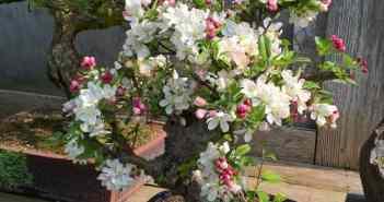 Ein Bonsai-Bäumchen in voller Blütenpracht