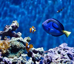 clown fish blue tang