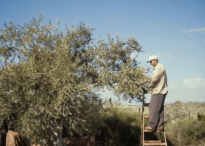 Oliveoil_Harvestpeace_inkline