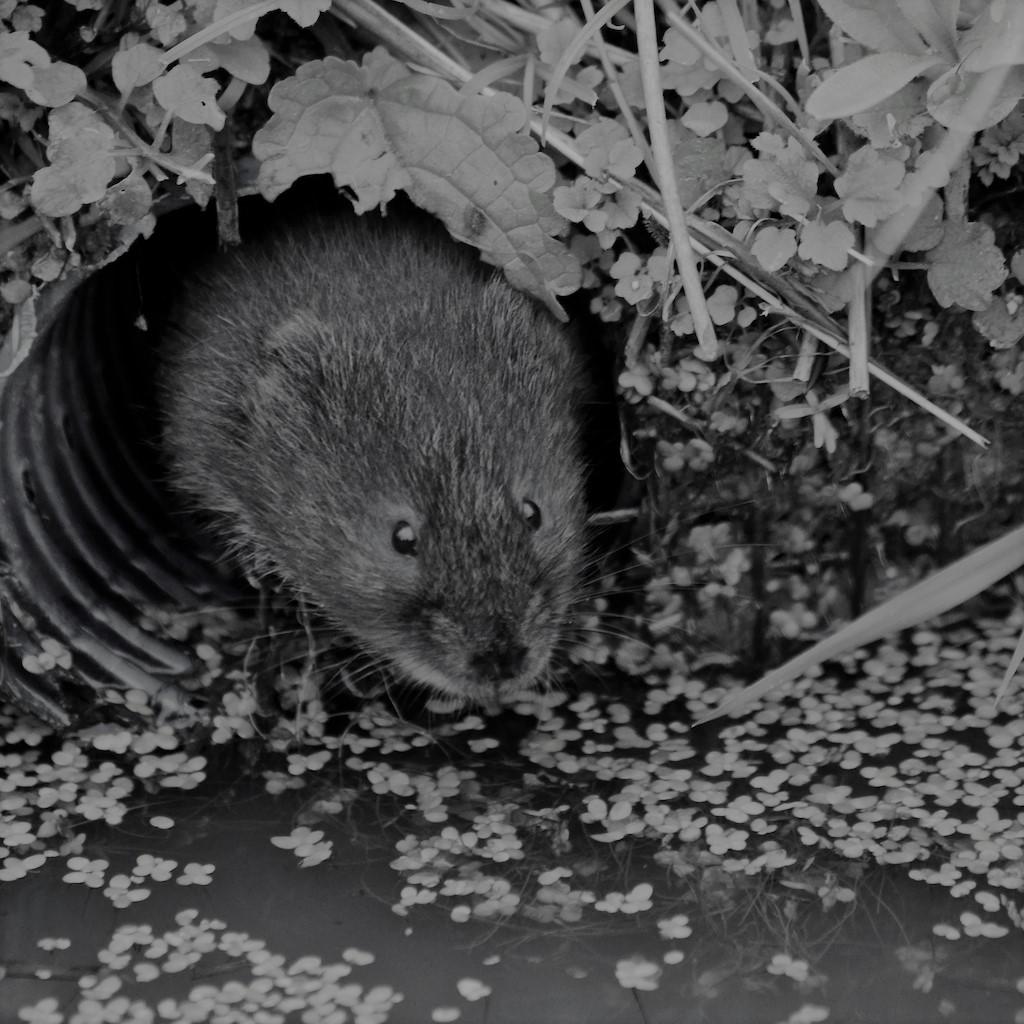 water-vole-british-wildlife-centre