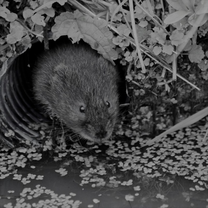 water-vole-british-wildlife-centre