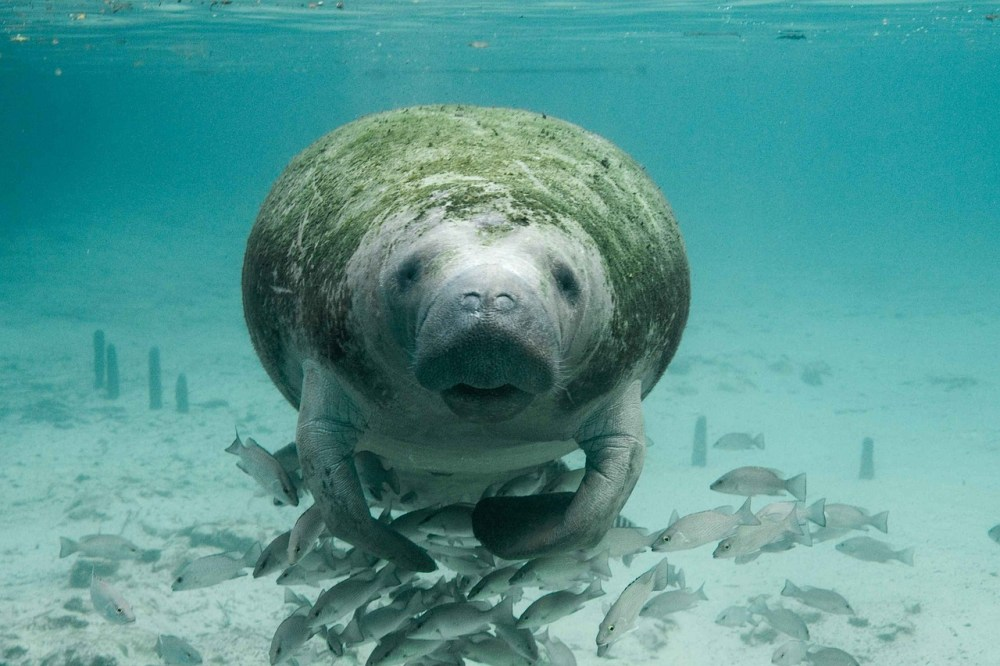 manatee-great-barrier-reef