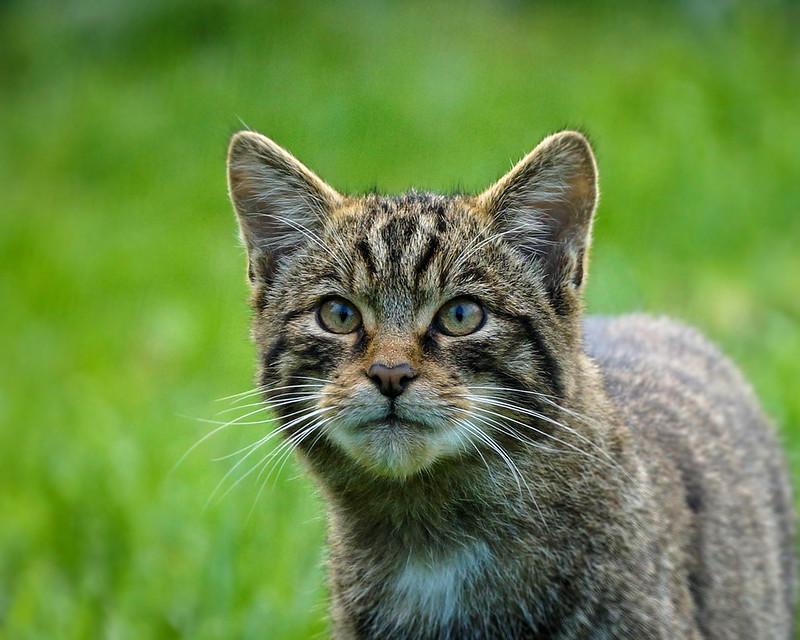 A wildcat is looking up.
