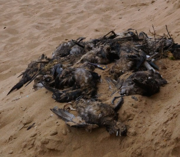 Dead birds, possibly starved to death with stomachs full of plastic