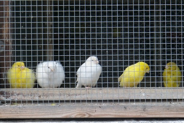 canaries-420580_640