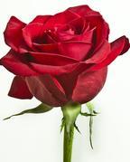 red-rose-the-little-flower-shop-florist-london-bouquet-builder-florist-london