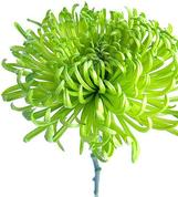 chrysanthemums-bouquet-builder-the-little-flower-shop-florist-london