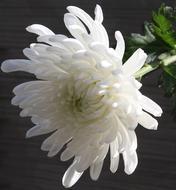 chrysanthemums-bouquet-builder-the-little-flower-shop-florist-london