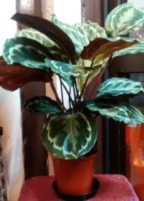 Calathea _indoor plants online_house plants online_The Little Flowershop-min