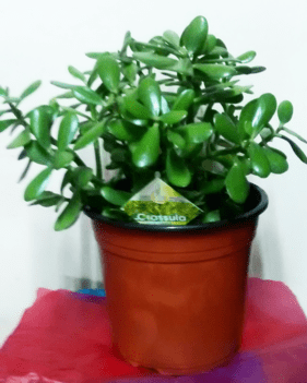 Large Money plants_order indoor plants online_house plants online_flower shop-