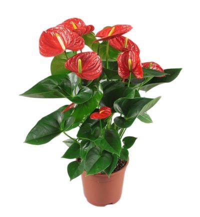 anthurium-plant-plant-shop-the-little-flower-shop