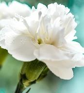 White-carnations-Flowers Carnation Color Bloom