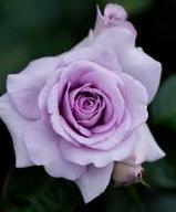 lilac-purple-rthe-little-flower-shop-florist-london-bouquet-builderose