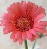 bouquet-builder-pink-gerberas-the-little-flower-shop-Flowers Blossom Floral Bloom Flora Pink Gerbera