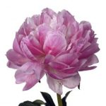 peonies-pink-peonies-white-peonies-bouquet-builder-peony-the-little-flower-shop-e1552250831859