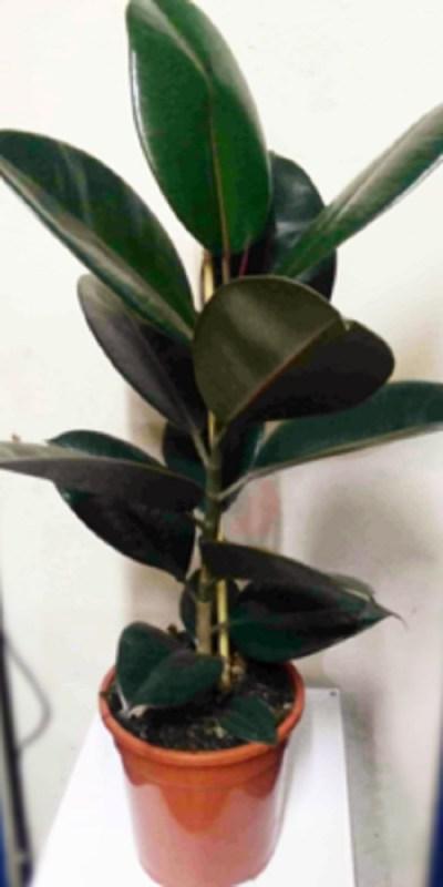 Rubber-plant-the-little-flower-shop-florist-london-indoor-plants-house-plants-delivery-uk