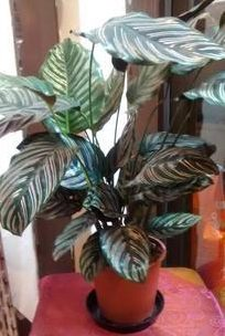 calathea-striped-indoor-plants-house-plants-the-little-flower-shop-florist