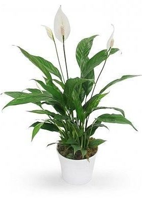 PEACE-LILY-INDOOR-PLANTS-GIFTTHE-LITTLE-FLOWER-SHOP-FLORIST-LONDON-PLANT-SHOP-GARDEN-CENTRE-UK-DELIVERY